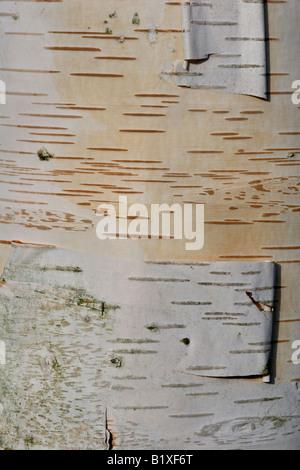 Bark of white Himalayan birch (Betula utilis) - Stock Photo