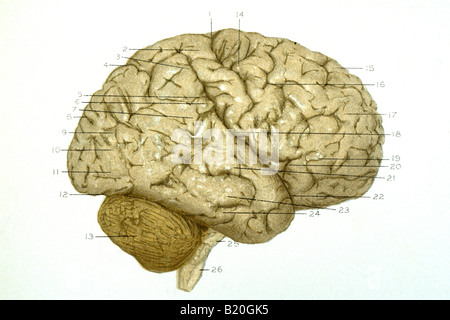 ILLUSTRATION CONVOLUTIONS RIGHT HEMISPHERE OF BRAIN - Stockfoto