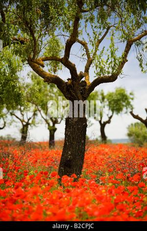 Poppyfield beneath almond trees near Huesca in Spanish Pyrenees - Stock Photo