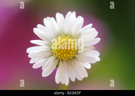 Lawn daisy Common daisy Bellis perennis english daisy bloom blossom still stills background backgrounds patterns - Stock Photo