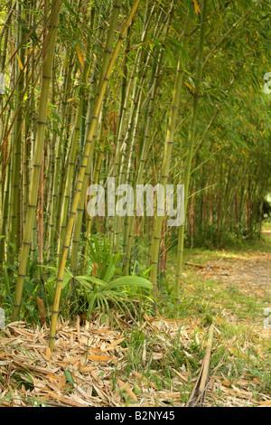 Bamboo grove - Stockfoto