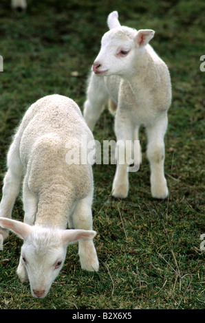 Lambs in a meadow - Stock Photo