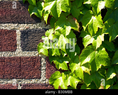 Ivy on brick wall close up - Stock Photo