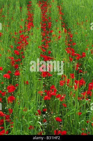 Rows of poppies in wheat field - Stock Photo