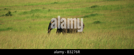 African elephant walking through the grass Kenya Africa - Stock Photo