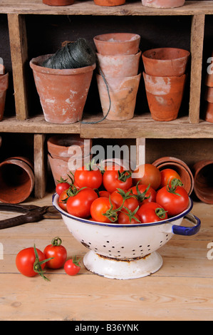 Freshly picked home grown tomatoes in kitchen colander in rustic potting shed setting - Stock Photo