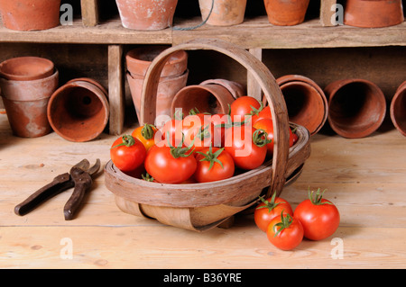 Freshly picked home grown tomatoes in trug in rustic potting shed setting - Stock Photo