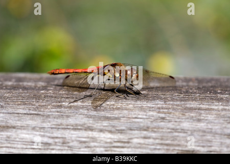 Dragonfly sunning itself on the fence - Stock Photo