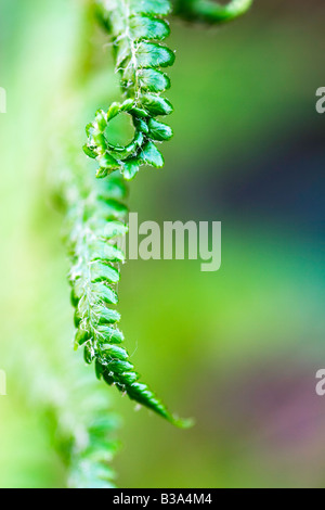 Curled Fern Plant - Stockfoto