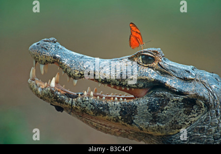 Spectacled Caiman Caiman crocodilus adult with Julia Butterfly Dryas iulia Pantanal Brazil South America - Stock Photo
