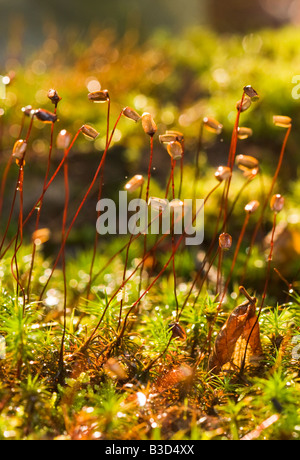 Capsules of Tortula muralis (wall screw-moss) - Stockfoto