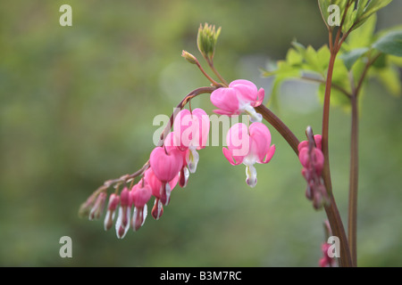 BLEEDING HEART DICENTRA SPECTABILIS FLOWER IN MAY IN NORTHERN ILLINOIS USA - Stock Photo