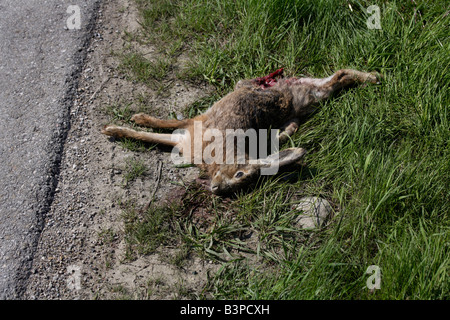 Dead Hare (Lupus europaeus), Roadkill, elevated view - Stock Photo