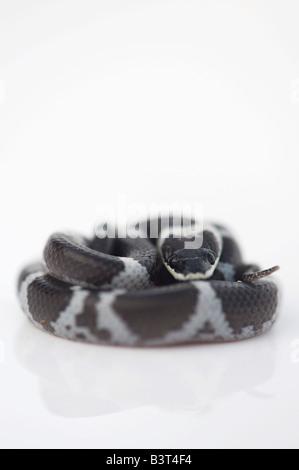 Shaws Wolf Snake, Lycodon striatus sinhaleyus on white - Stockfoto