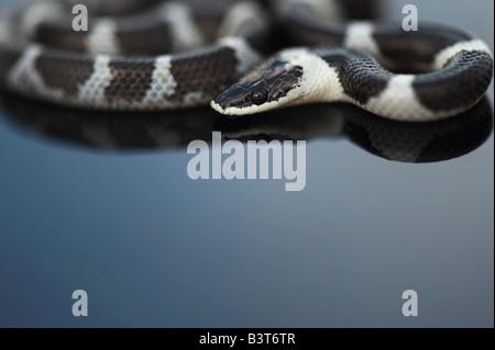 Shaws Wolf Snake, Lycodon striatus sinhaleyus on reflective black surface - Stockfoto