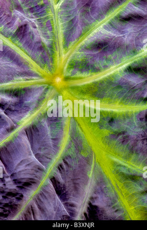 Close up of leaf veins of Taro plant Hugfhes Water Gardens Oregon - Stock Photo