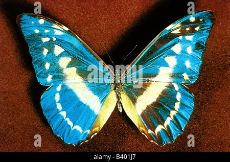zoology / animals, insect, butterflies, Blue Morpho, (Morpho helena), distribution: Peru, butterfly, Lepidoptera, - Stock Photo