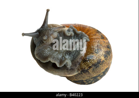 Garden Snail Helix aspersa on it s back so to speak isolated on a white background - Stock Photo