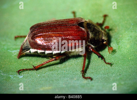 zoology / animals, insect, beetles, cockchafers, Common Cockchafer, (Melolontha melolontha), on leaf, close-up, - Stock Photo