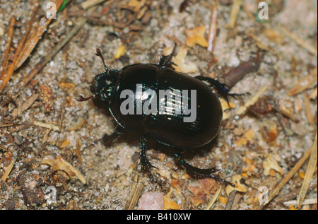 zoology / animals, insect, beetles, Earth-boring dung beetle, (Geotrupes stercorarius), on woodground, distribution: - Stock Photo