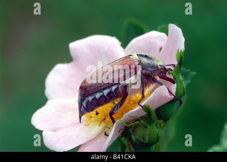 zoology / animals, insect, beetles, cockchafers, Common Cockchafer, (Melolontha melolontha), on blossom, distribution: - Stock Photo