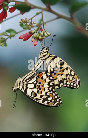 Lemon Butterfly Papilio demoleus pair mating captive - Stock Photo