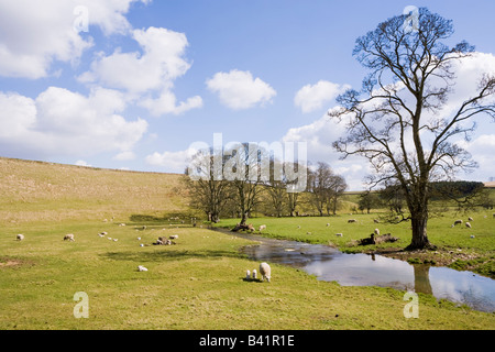 Sheep and spring lambs grazing on the Cotswolds beside the infant River Leach 1 mile NW of Eastleach, Gloucestershire - Stock Photo