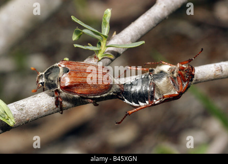 zoology / animals, insects, beetles, Cockchafer, May Bug, (Melolontha melolontha), mating, close-up, distribution: - Stock Photo