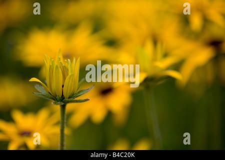Rudbeckia, Coneflower - Stock Photo