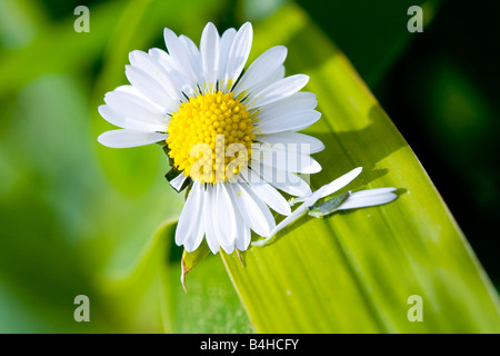 Close-up of white daisy (Bellis perennis) - Stock Photo