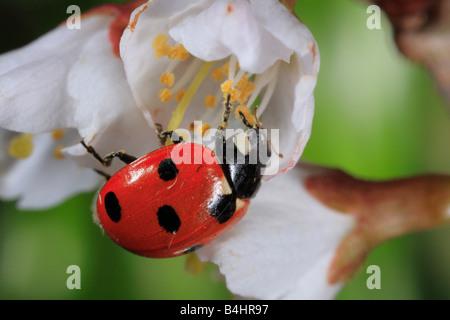 7-spot Ladybird Beetle (Coccinella septempunctata). Feeding on pollen from a cherry flower. Powys, Wales. - Stockfoto