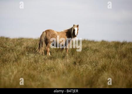 Wild Pony Brecon Beacons Wales UK - Stock Photo