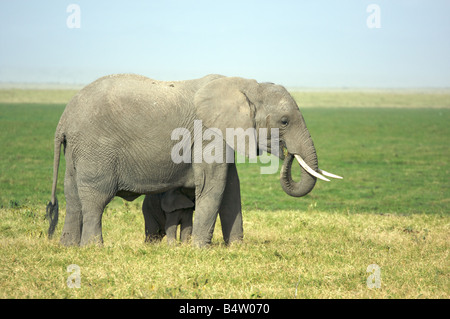 African elephant with baby elephant in Amboseli National Park, Kenya, East Africa - Stock Photo