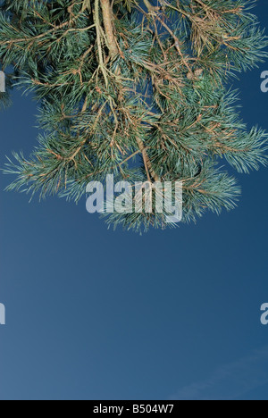 A pine tree on the ashdown forest, looking up through the branches into the dark blue sky - Stock Photo