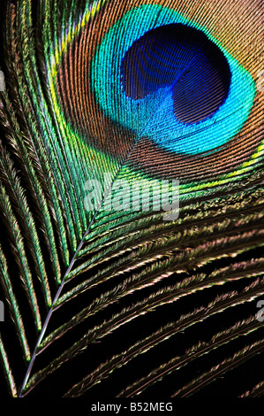 Close up of eye of peacock feather on black - Stock Photo