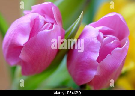 Pink tulip flower (Tulipa genus) close up - Stock Photo