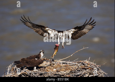 Osprey Pandion haliaetus adult bringing trout to young in nest Yellowstone River Yellowstone National Park Wyoming - Stock Photo