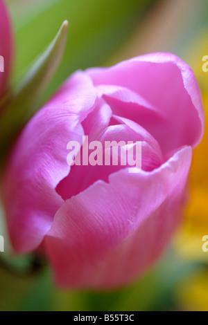 Pink tulip flower (Tulipa genus) close up - Stockfoto