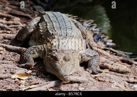 Saltwater crocodile, Northern Territory, Australia, Pacific - Stock Photo