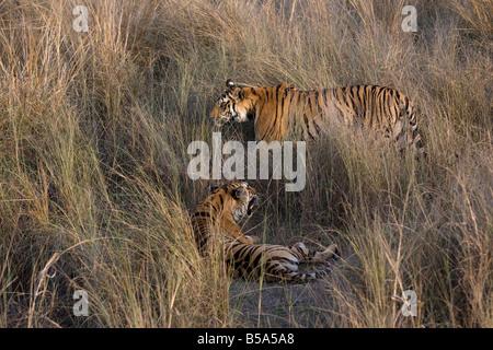 Indian Tiger (Bengal tiger) (Panthera tigris tigris) yawning, Bandhavgarh National Park, Madhya Pradesh state, India - Stock Photo