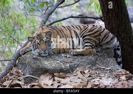 Indian Tiger (Bengal tiger) (Panthera tigris tigris), Bandhavgarh National Park, Madhya Pradesh state, India - Stock Photo