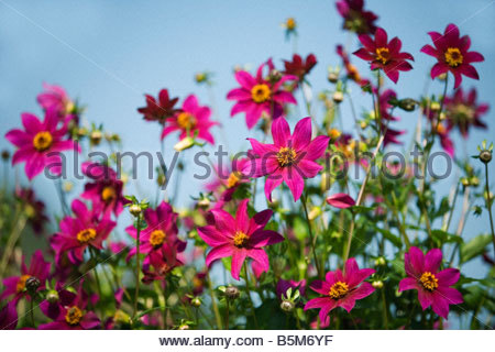 Dahlia 'Brantwood' with blue sky background - Stock Photo