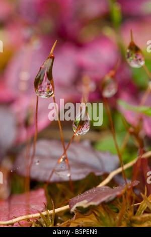 Morning Dew on Wall-Screw Moss (Tortula muralis) - Stock Photo