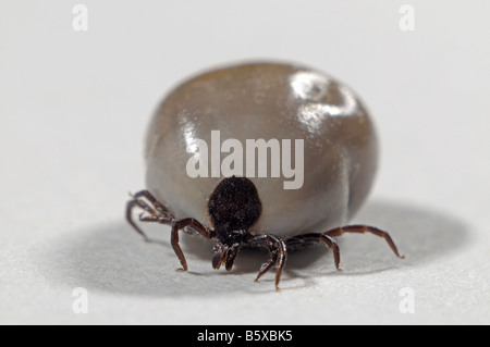 Castor Bean Tick (Ixodes ricinus), female completely bloated with blood, studio picture - Stock Photo