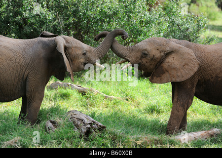 African Bush Elephant (Loxodonta africana), two calves playing, Samburu National Reserve, Kenya, Africa - Stock Photo