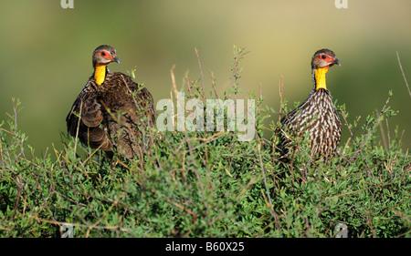 Two Yellow-necked Spurfowl (Pternistis leucoscepus), Samburu National Reserve, Kenya, Africa - Stock Photo