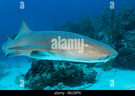 Nurse Sharks (Ginglymostoma cirratum) swimming amongst the coral reef in search of prey, barrier reef, San Pedro, - Stock Photo