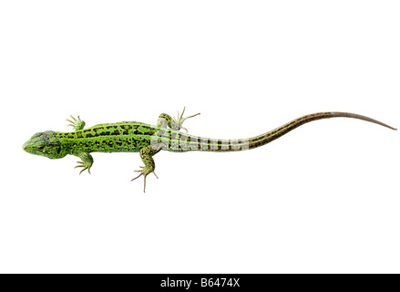 Green lizard isolated on white background - Stock Photo