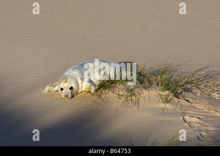 Grey seal pup on sandy beach, Norfolk - Stock Photo
