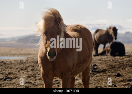 Icelandic horses - Stock Photo
